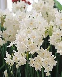 Paper White Flower Bulb 12 Large Ziva Paperwhite Daffodil Flower Bulbs Amazon Com Grocery