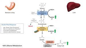 Alcohol Metabolism Chart Ethanol Absorption And Metabolism Alcohol Metabolism Pathway