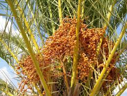 Israel  Eilat Palm Fruits  Dates  Palm Tree  Palmera  Photo Palm Tree Orange Fruit
