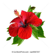 hibiscus flowers red hibiscus flowers isolated red hibiscus flowers isolated set