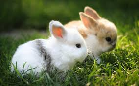 cute white baby rabbits wallpapers