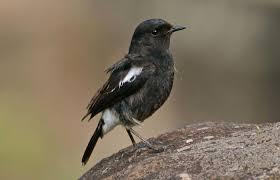 Suara burung decu kembang betina mp3 & mp4. Update Harga Burung Decu 2021 Terbaru Referensi Dunia Kicau Mania Indonesia Terpercaya