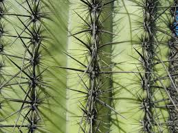 11 Things You Didnt Know About Saguaro Cacti Science Friday