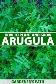 Arugula Companion Planting Chart