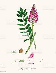 Pianta Onobrychis O Lupinella Illustrazione Del Xix Secolo - Immagini  vettoriali stock e altre immagini di Accoppiamento - iStock