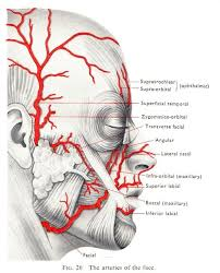 arteries of the face dentaltown the arteries of the face dental anatomy and tooth