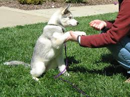 siberian huskies are extremely smart and can quickly learn mands however they are also independent minded and are best motivated using positive