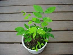Espresso kentucky coffee tree should be grown in full sunlight. Plantfiles Pictures Gymnocladus Species Dead Tree Kentucky Coffee Tree Stump Tree Gymnocladus Dioica By Evert