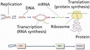 Protein Synthesis Flow Chart From Genetic Material Brainly In