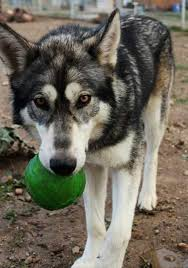 siberian husky wolf mix. Brilliant Husky First Why Should You Listen To Me Without Going Into Too Much Detail  Iu0027ve Been A Professional Animal Trainer For The Past 10 Years Working With Domestic  And Siberian Husky Wolf Mix