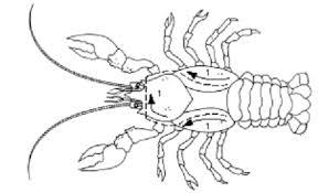 crayfish_line_1 crayfish dissection on crayfish dissection worksheet