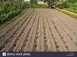 kitchen garden or vegetable plot furrows and holes planted with young leeks in summer