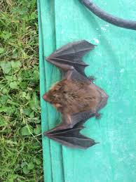 we found this little brown bat in a chimney yesterday it was not harmed in anyway bats are cool creatures if you ask us this species of bat is very
