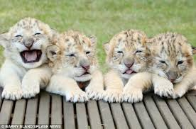cute baby liger. Beautiful Liger Meet The Family Yeti Odlin Sampson And Apollo Are Worldu0027s First Ever For Cute Baby Liger
