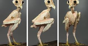 hawk without feathers. Simple Feathers Have You Ever Seen An Owl Without Feathers Inside Hawk Without Feathers Imgur