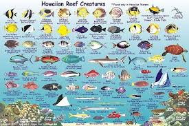 Maui Fish Frankos Molokai Creatures Guide Coral Reef