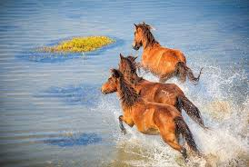 see wild horses in north america