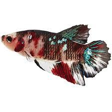 petco betta fish. Unique Petco Koi Betta With Petco Fish