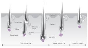 the hair growth cycle surehair