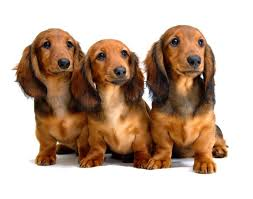 photo of a trio of dachshund puppies