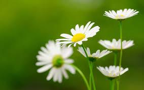 desktop background hd flowers. Interesting Desktop Daisy Flower Desktop Wallpapers To Background Hd Flowers P