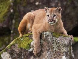 Image result for cougar