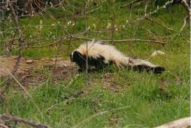 Image result for skunk picture