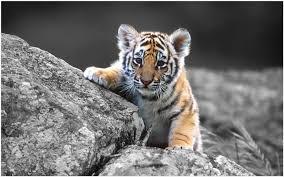 cute baby tiger wallpaper. Perfect Baby Tiger Baby Wallpaper  Baby Tiger Cubs Wallpaper Iphone  Wallpaper 3d Desktop  Inside Cute B