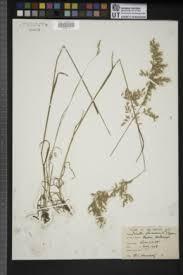 Trisetum flavescens - Flora del Noroeste dé México