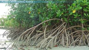 Aerial Roots: Definition, Function & Examples - Video & Lesson ...