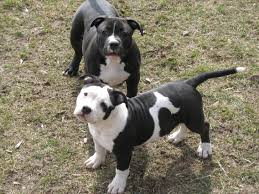 pitbull dog puppies. Beautiful Pitbull Please  To Pitbull Dog Puppies