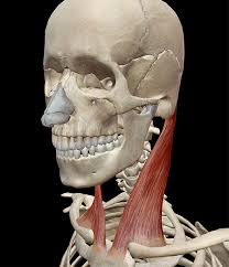 Behind the neck shoulder press. Learn Muscle Anatomy Sternocleidomastoid