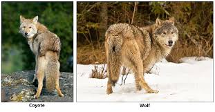 Wolf Vs Dog Size Chart Distinguishing Between Coyotes Wolves And Dogs