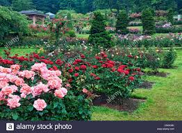 portland s international rose test garden in washington park displays 7 000 rose plants and 550 varieties of roses