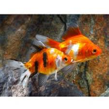 petsmart black goldfish. Beautiful Petsmart Ryukin Goldfish On Petsmart Black