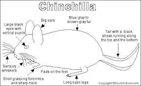 Small Picture Chinchilla Printout EnchantedLearningcom
