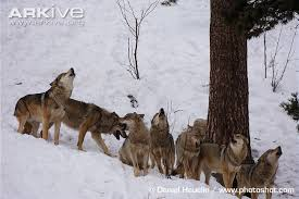 gray wolf pack in forest. Modren Forest Eurasian Wolf Pack Howling In Gray Wolf Pack Forest H