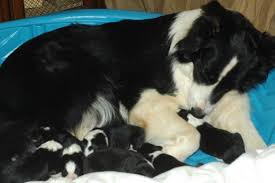 new mother in whelping box