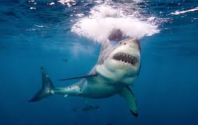 great white shark oceana