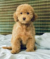 mini labradoodle puppy midwest pocket doodles puppies