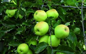 Apple Triple Grafted RoyalGala Granny Smith Splendour  PB18 Triple Grafted Fruit Trees