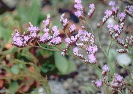 Pflanzengeographie Siziliens - Limonium densiflorum (Guss.) O ...