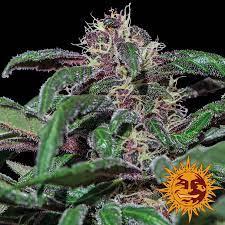 Ayahuasca Purple Feminised Seeds von ...