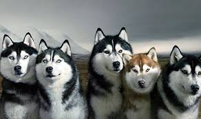 siberian husky wallpaper. Simple Siberian Siberian Husky Wallpapers 3  1824 X 1080 For Wallpaper