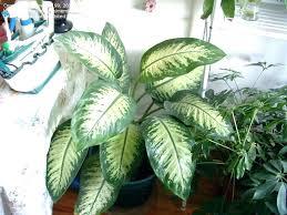 ed s hmes broad leaf house plants tall indoor plant