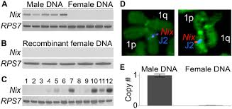 Nix is located within the M locus. (A) PCR for Nix in male and ...