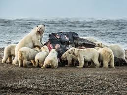 pictures polar bears throng village in search of whale
