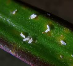 aljaz info razno dracaena marginata white bugs 3 jpg