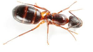 carpenter ant pic. Perfect Carpenter 03 May What To Know About Carpenter Ants That Appear In The Spring Inside Ant Pic