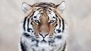 tiger face wallpaper hd. Modren Wallpaper Tiger Head Wallpaper HD Inside Face Hd